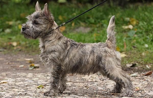 Керн-терьер-собака-Описание-особенности-виды-уход-и-цена-породы-15