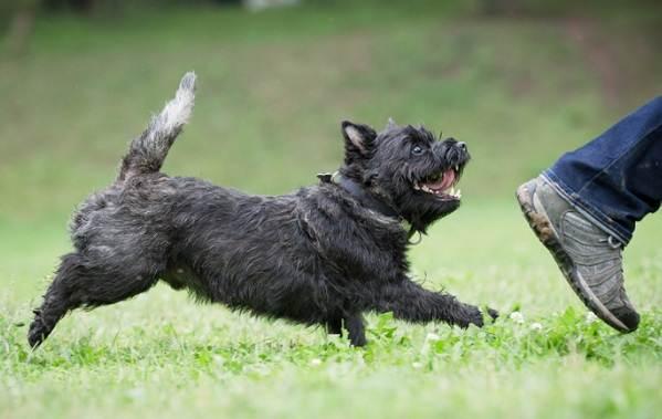 Керн-терьер-собака-Описание-особенности-виды-уход-и-цена-породы-16