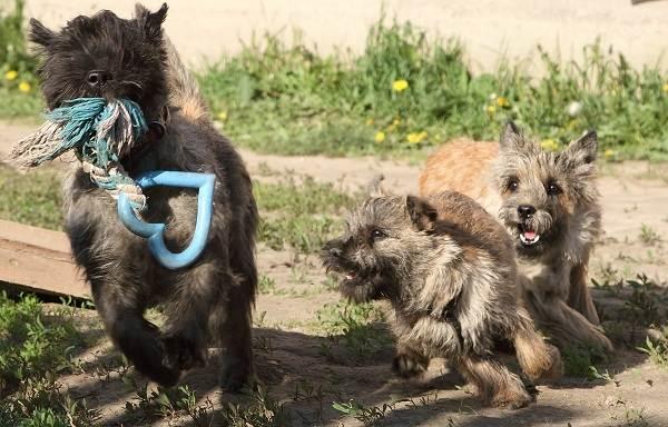 Керн-терьер-собака-Описание-особенности-виды-уход-и-цена-породы-17