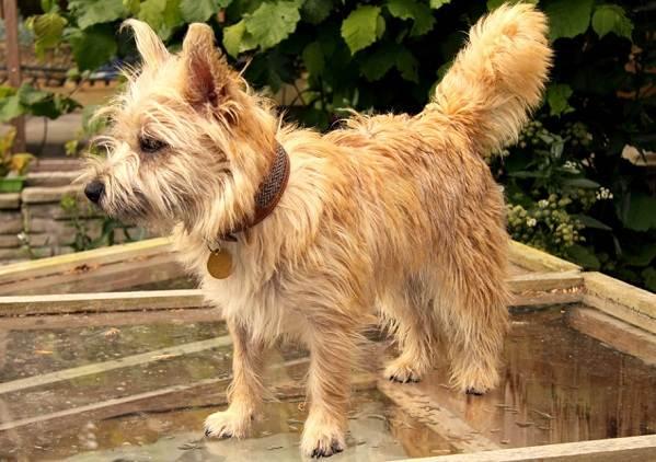 Керн-терьер-собака-Описание-особенности-виды-уход-и-цена-породы-18