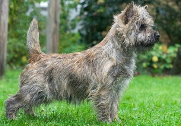 Керн-терьер-собака-Описание-особенности-виды-уход-и-цена-породы-2