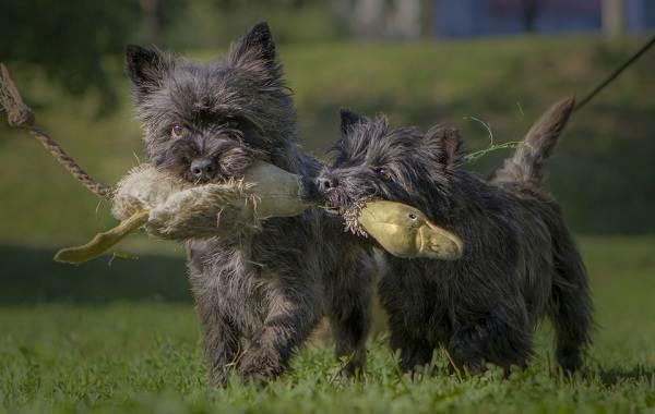 Керн-терьер-собака-Описание-особенности-виды-уход-и-цена-породы-3