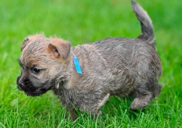 Керн-терьер-собака-Описание-особенности-виды-уход-и-цена-породы-6