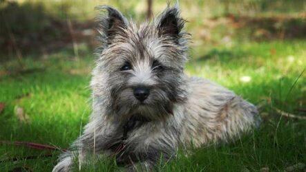 Керн-терьер собака. Описание, особенности, виды, уход и цена породы