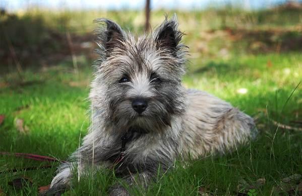 Керн-терьер-собака-Описание-особенности-виды-уход-и-цена-породы-9