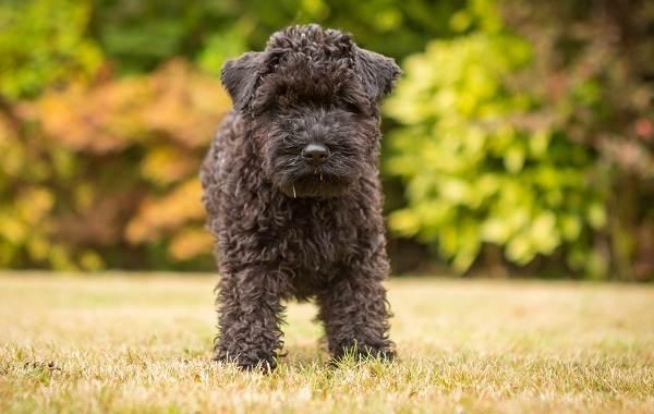 Керри-блю-терьер-собака-Описание-особенности-виды-уход-и-цена-породы-1