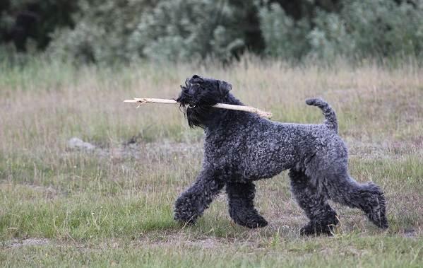 Керри-блю-терьер-собака-Описание-особенности-виды-уход-и-цена-породы-10