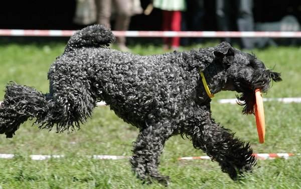 Керри-блю-терьер-собака-Описание-особенности-виды-уход-и-цена-породы-11