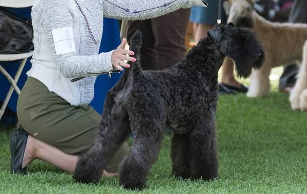 Керри-блю-терьер-собака-Описание-особенности-виды-уход-и-цена-породы-12
