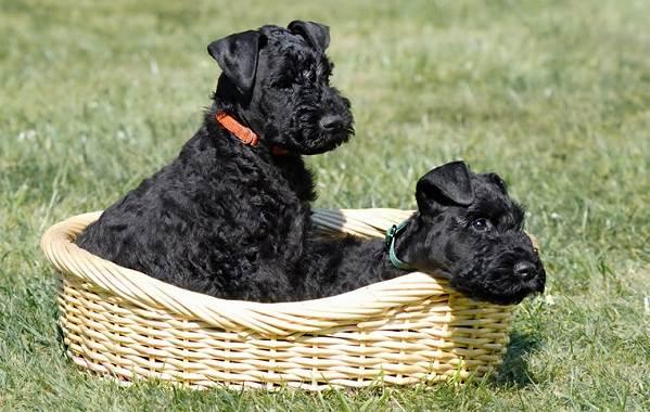 Керри-блю-терьер-собака-Описание-особенности-виды-уход-и-цена-породы-13