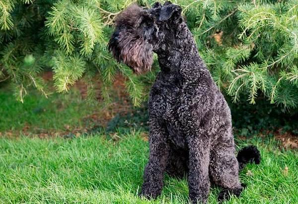 Керри-блю-терьер-собака-Описание-особенности-виды-уход-и-цена-породы-14