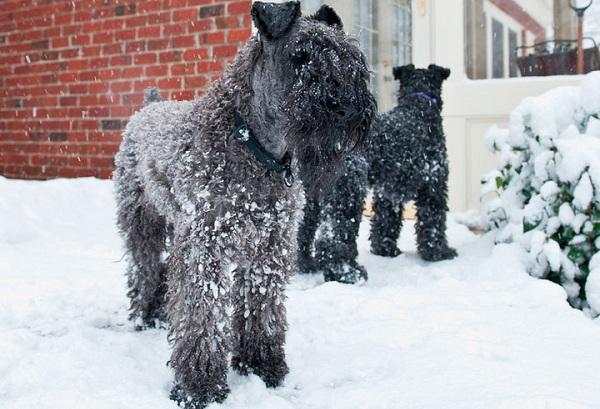 Керри-блю-терьер-собака-Описание-особенности-виды-уход-и-цена-породы-15