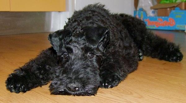 Керри-блю-терьер-собака-Описание-особенности-виды-уход-и-цена-породы-16