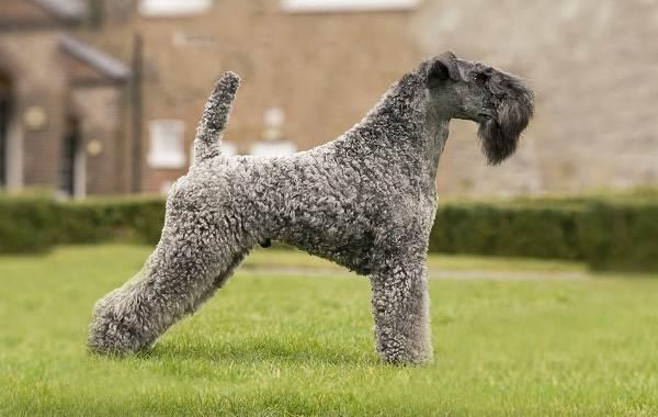 Керри-блю-терьер-собака-Описание-особенности-виды-уход-и-цена-породы-2