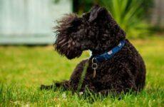 Керри-блю терьер собака. Описание, особенности, виды, уход и цена породы