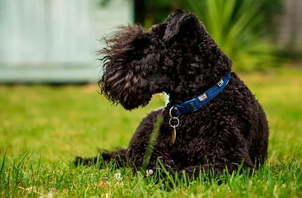 Керри-блю-терьер-собака-Описание-особенности-виды-уход-и-цена-породы-3