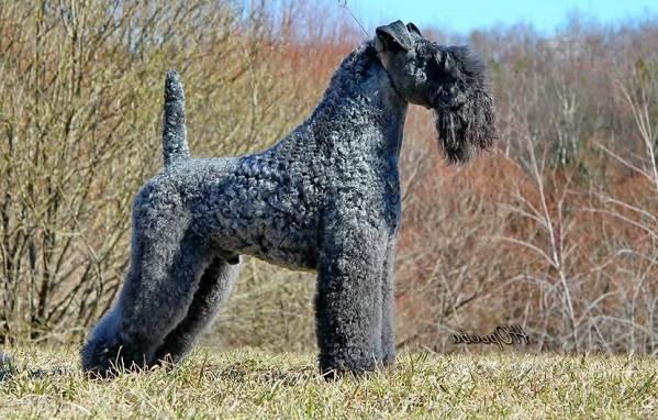Керри-блю-терьер-собака-Описание-особенности-виды-уход-и-цена-породы-4