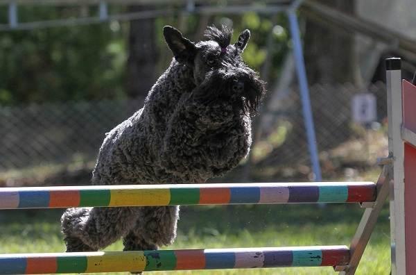 Керри-блю-терьер-собака-Описание-особенности-виды-уход-и-цена-породы-5