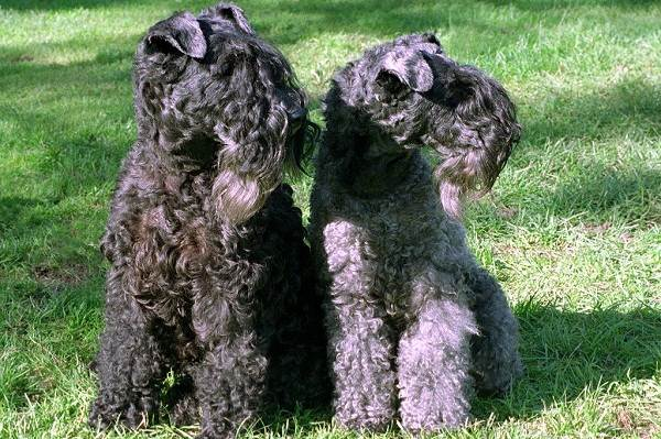 Керри-блю-терьер-собака-Описание-особенности-виды-уход-и-цена-породы-6