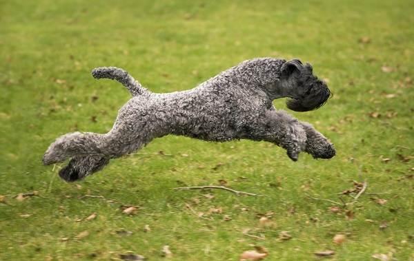 Керри-блю-терьер-собака-Описание-особенности-виды-уход-и-цена-породы-7