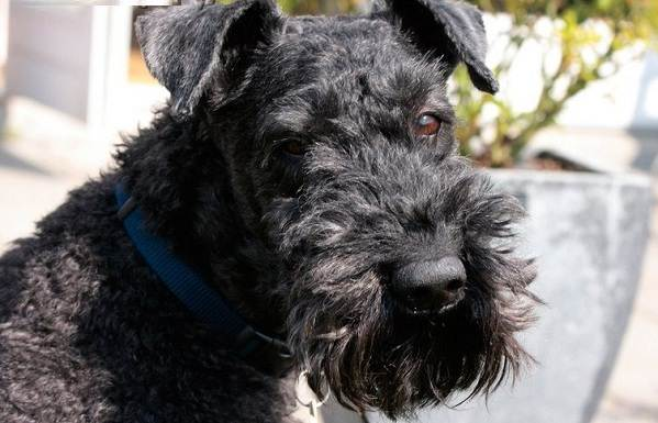 Керри-блю-терьер-собака-Описание-особенности-виды-уход-и-цена-породы-8