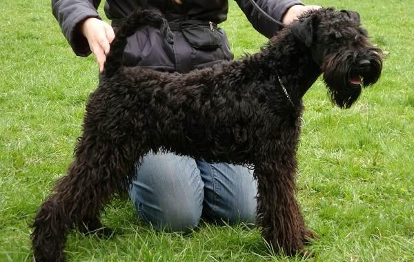 Керри-блю-терьер-собака-Описание-особенности-виды-уход-и-цена-породы-9