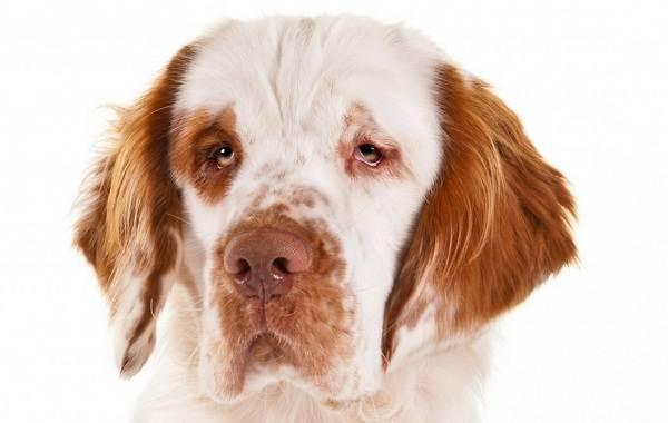 Кламбер-спаниель-собака-Описание-особенности-виды-уход-и-цена-породы-1