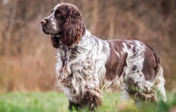 Кламбер-спаниель-собака-Описание-особенности-виды-уход-и-цена-породы-10