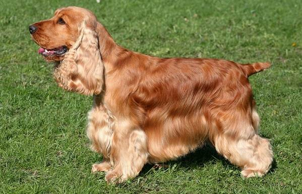 Кламбер-спаниель-собака-Описание-особенности-виды-уход-и-цена-породы-11