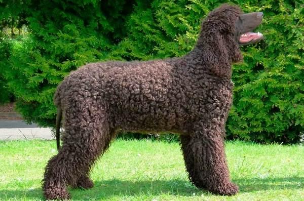 Кламбер-спаниель-собака-Описание-особенности-виды-уход-и-цена-породы-13