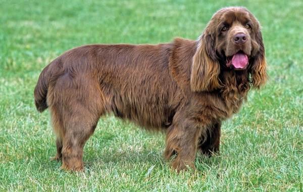 Кламбер-спаниель-собака-Описание-особенности-виды-уход-и-цена-породы-14