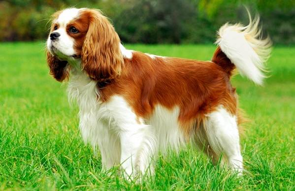 Кламбер-спаниель-собака-Описание-особенности-виды-уход-и-цена-породы-15