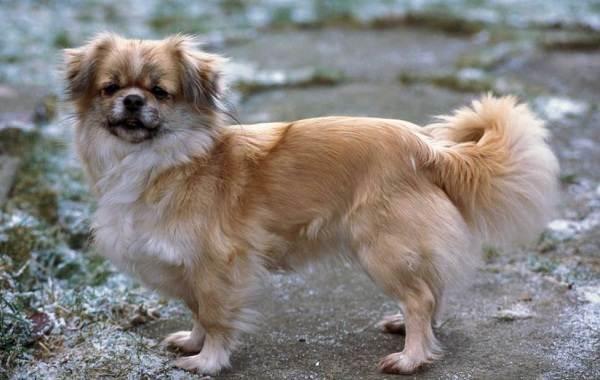 Кламбер-спаниель-собака-Описание-особенности-виды-уход-и-цена-породы-17