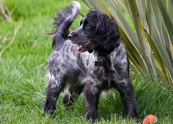 Кламбер-спаниель-собака-Описание-особенности-виды-уход-и-цена-породы-18