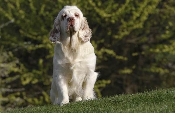 Кламбер-спаниель-собака-Описание-особенности-виды-уход-и-цена-породы-19