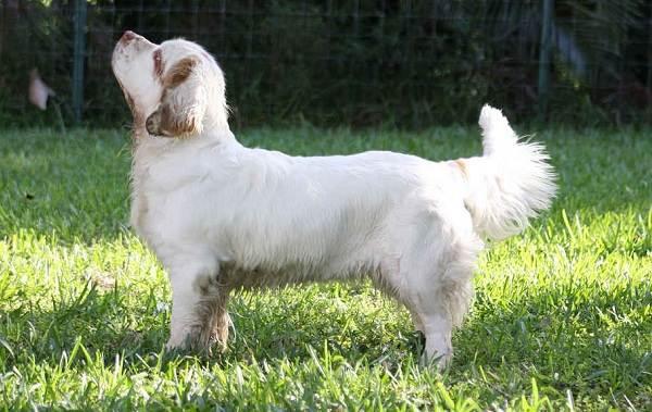 Кламбер-спаниель-собака-Описание-особенности-виды-уход-и-цена-породы-21
