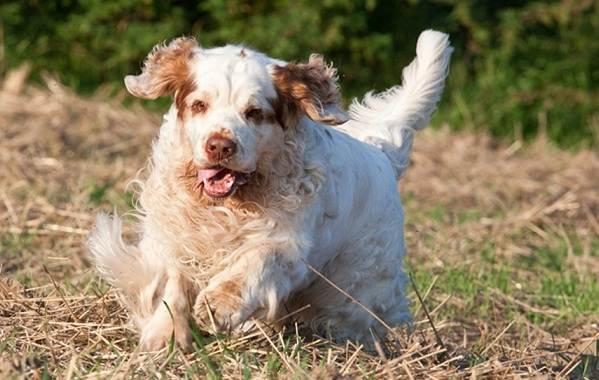 Кламбер-спаниель-собака-Описание-особенности-виды-уход-и-цена-породы-22