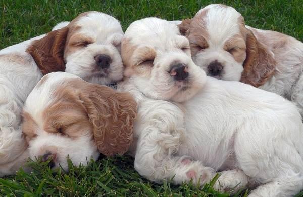 Кламбер-спаниель-собака-Описание-особенности-виды-уход-и-цена-породы-23