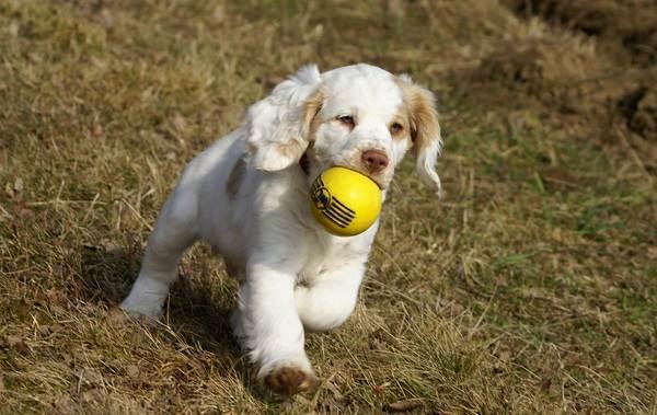 Кламбер-спаниель-собака-Описание-особенности-виды-уход-и-цена-породы-24