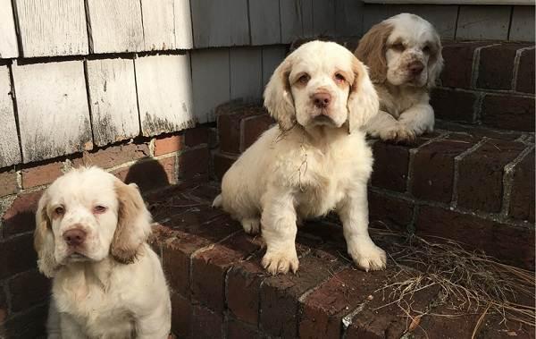 Кламбер-спаниель-собака-Описание-особенности-виды-уход-и-цена-породы-25