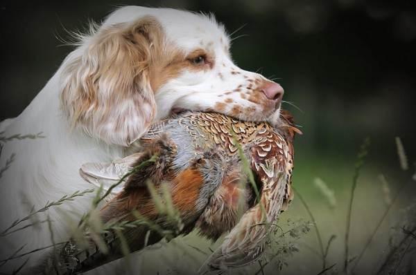 Кламбер-спаниель-собака-Описание-особенности-виды-уход-и-цена-породы-26