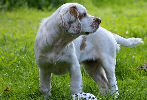 Кламбер-спаниель-собака-Описание-особенности-виды-уход-и-цена-породы-28