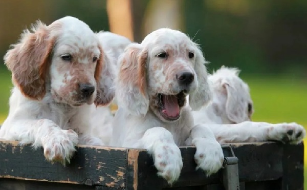 Кламбер-спаниель-собака-Описание-особенности-виды-уход-и-цена-породы-29