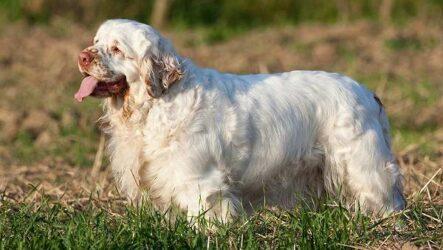Кламбер спаниель собака. Описание, особенности, виды, уход и цена породы