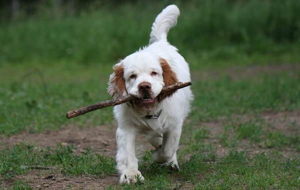 Кламбер-спаниель-собака-Описание-особенности-виды-уход-и-цена-породы-8