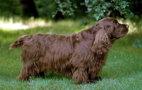 Кламбер-спаниель-собака-Описание-особенности-виды-уход-и-цена-породы-9