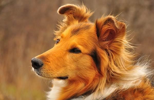 Колли-собака-Описание-особенности-виды-цена-и-уход-за-породой-колли-1