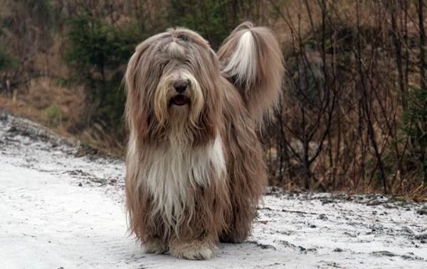 Колли-собака-Описание-особенности-виды-цена-и-уход-за-породой-колли-10