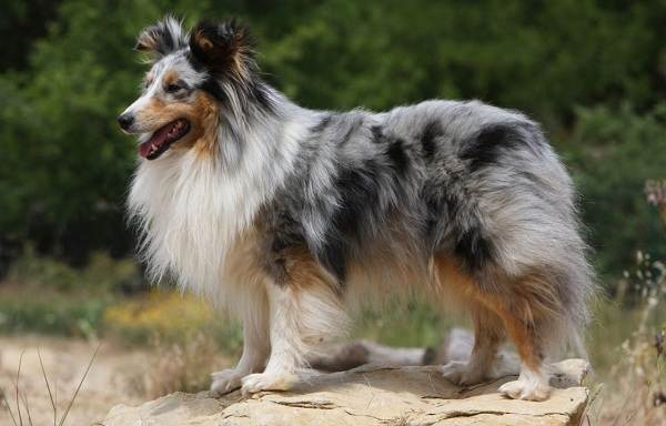 Колли-собака-Описание-особенности-виды-цена-и-уход-за-породой-колли-11
