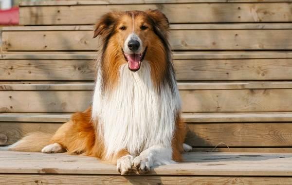 Колли-собака-Описание-особенности-виды-цена-и-уход-за-породой-колли-14